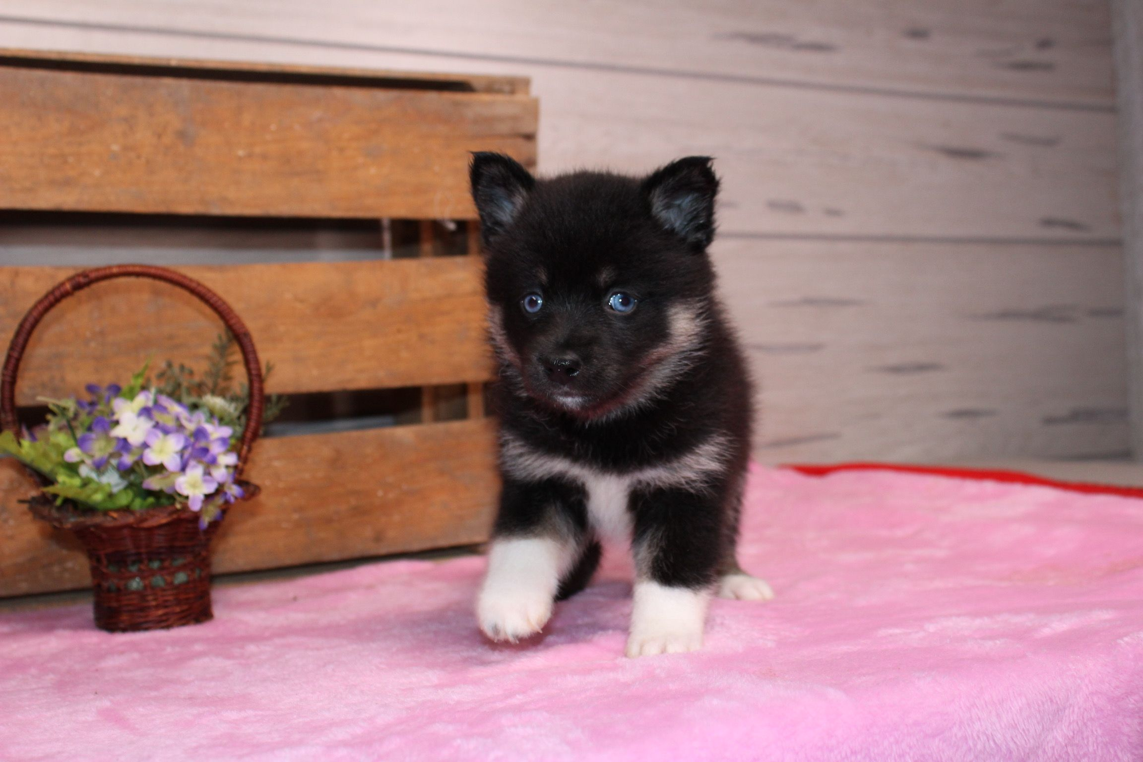 Pin By Carly Cronin On Pomskys W A Few Huskies Puppies Puppies Near Me Cute Animals