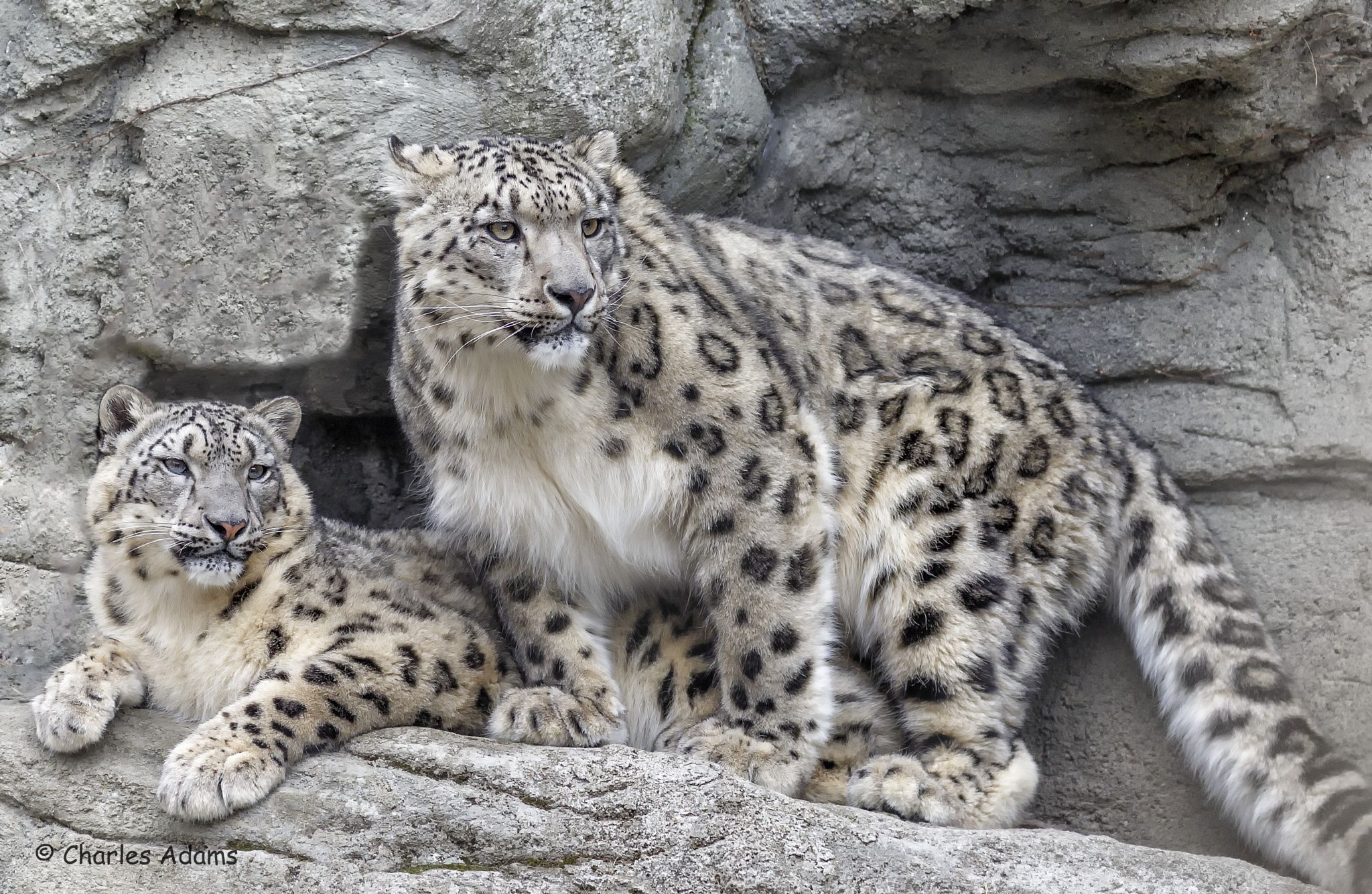 Photograph Snow Leopards Hanging out 2 by Charles Adams on 500px