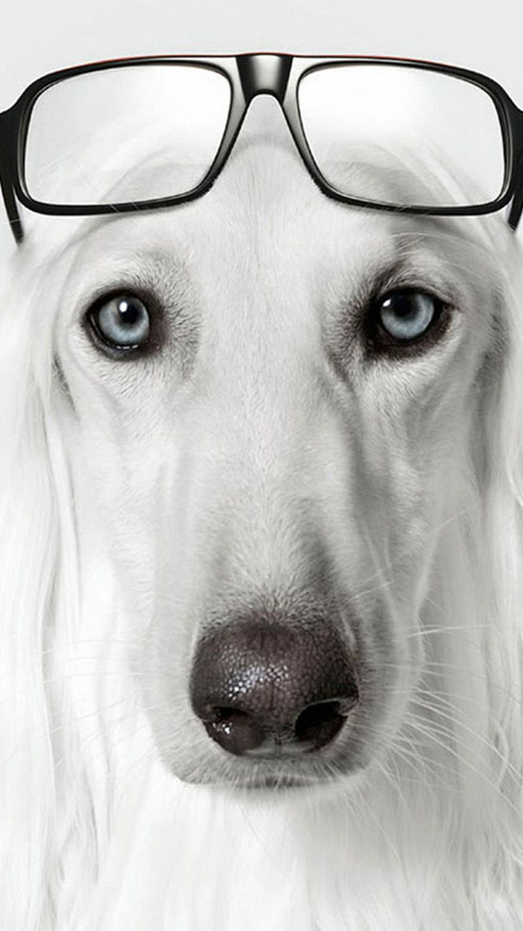 Wallpaper iphone dog - Animals Unicolor Dog Glasses Cute Funny White Iphone 6 Wallpaperwallpaper