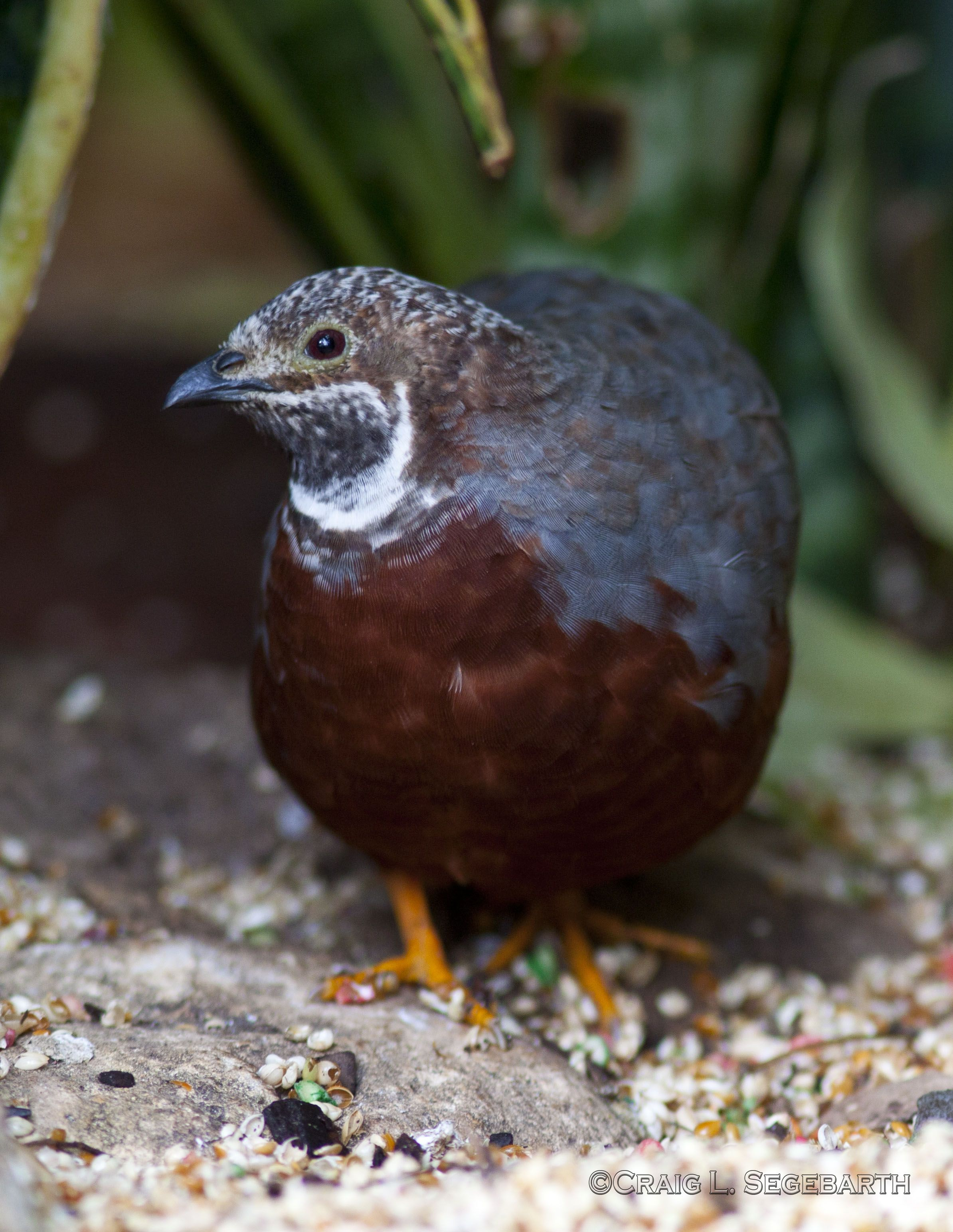 Adorable Button Quail have wide color variation and are ...