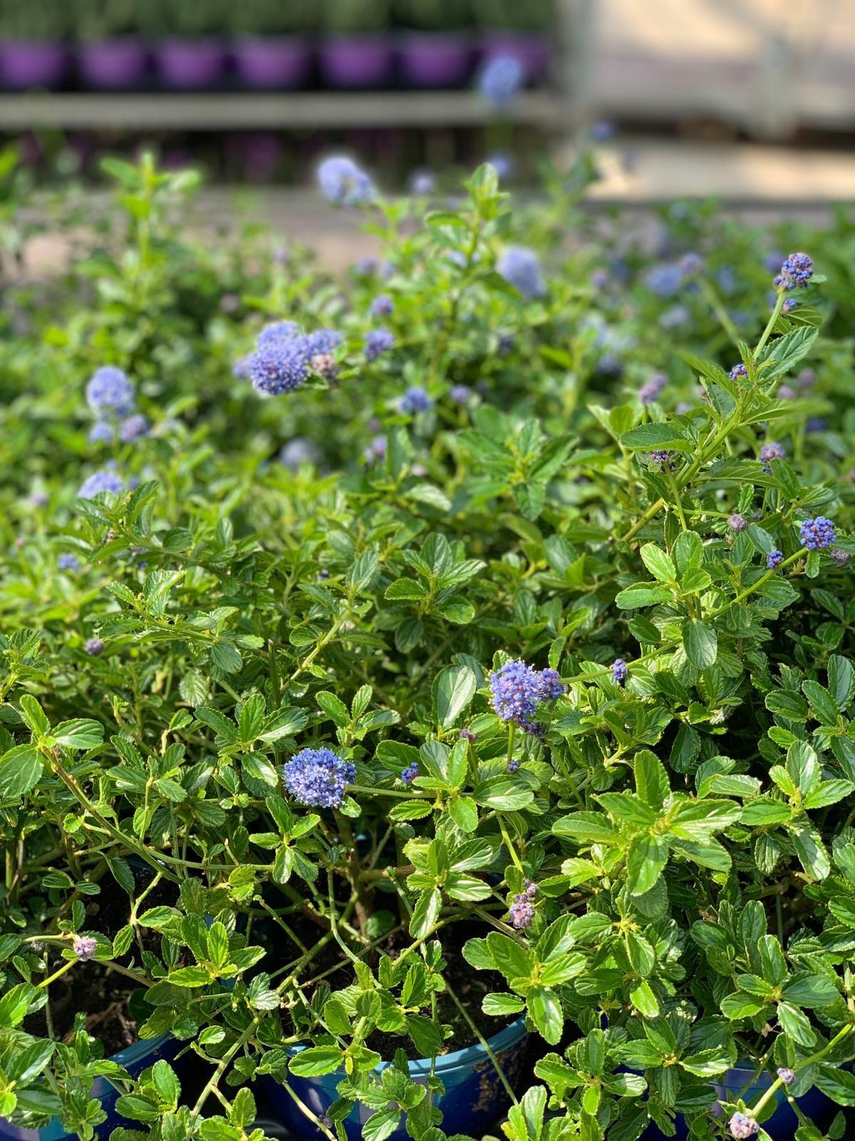 Il Ceanothus Thyrsiflorus Noto Come Blue Flower Ceanothus E Un