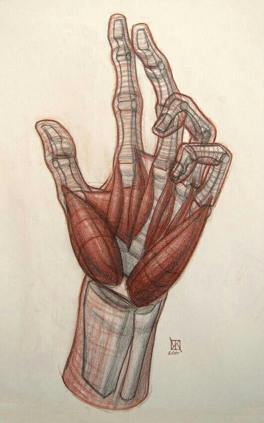 Pin By Dani On Anatomy Anatomy Anatomy Drawing Hand Anatomy