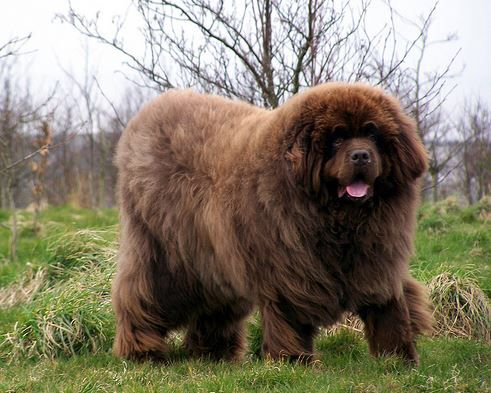 Newfoundlands Bears You Can Cuddle Big Dog Breeds Dogs Fluffy Dogs