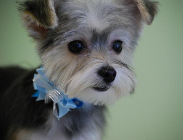 Pin By Brandie White On Puppy Love Maltese Haircut Dog Haircuts Maltese Yorkie Mix