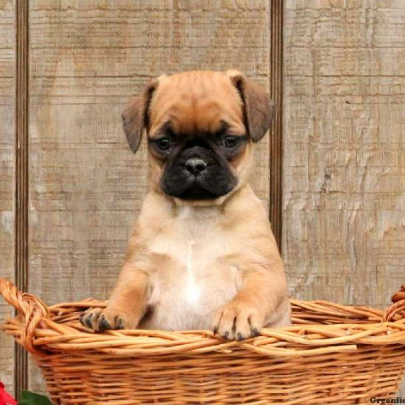 Pug Mix Puppies For Sale Pug Mix Breed Profile Pug Mixed