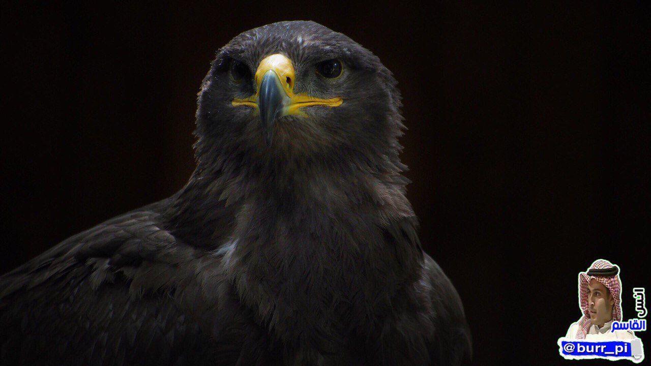 كانت راية رسول الله ﷺ راية الخلافة سوداء تسمى الع ق اب والتي سم يت على أسم طائر الع قاب وهو ملك الطيور بلا منازع إذا حلق بالسم Bald Eagle Animals Balding
