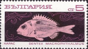 Large-eye Dentex (Dentex macrophthalmus)