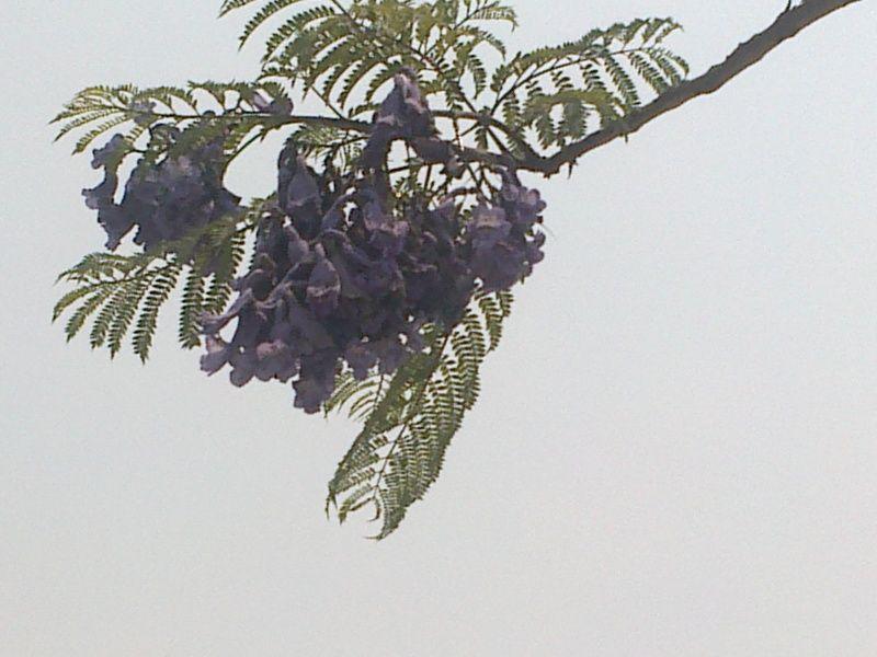 con esta flor inicia la primavera,regularmente este tipo de arboles ...