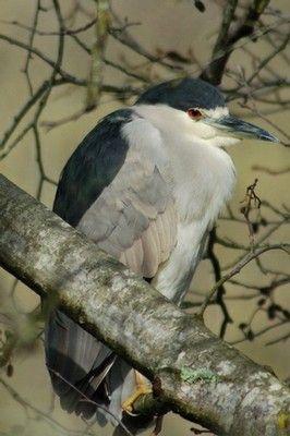 Black-crowned Night-Heron Joseph Nagy, Santa Rosa, CA (our ...