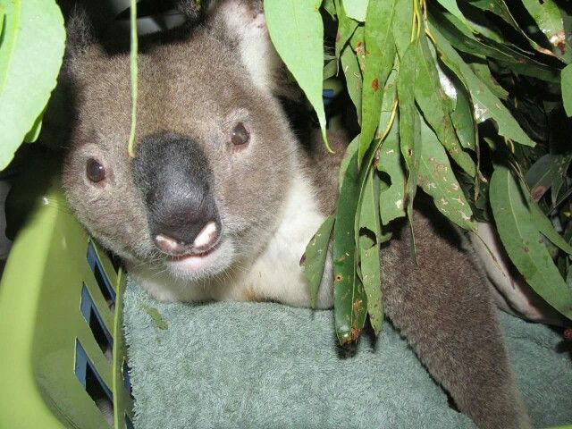 Malakie | Koala bear, Cute animals, Koala