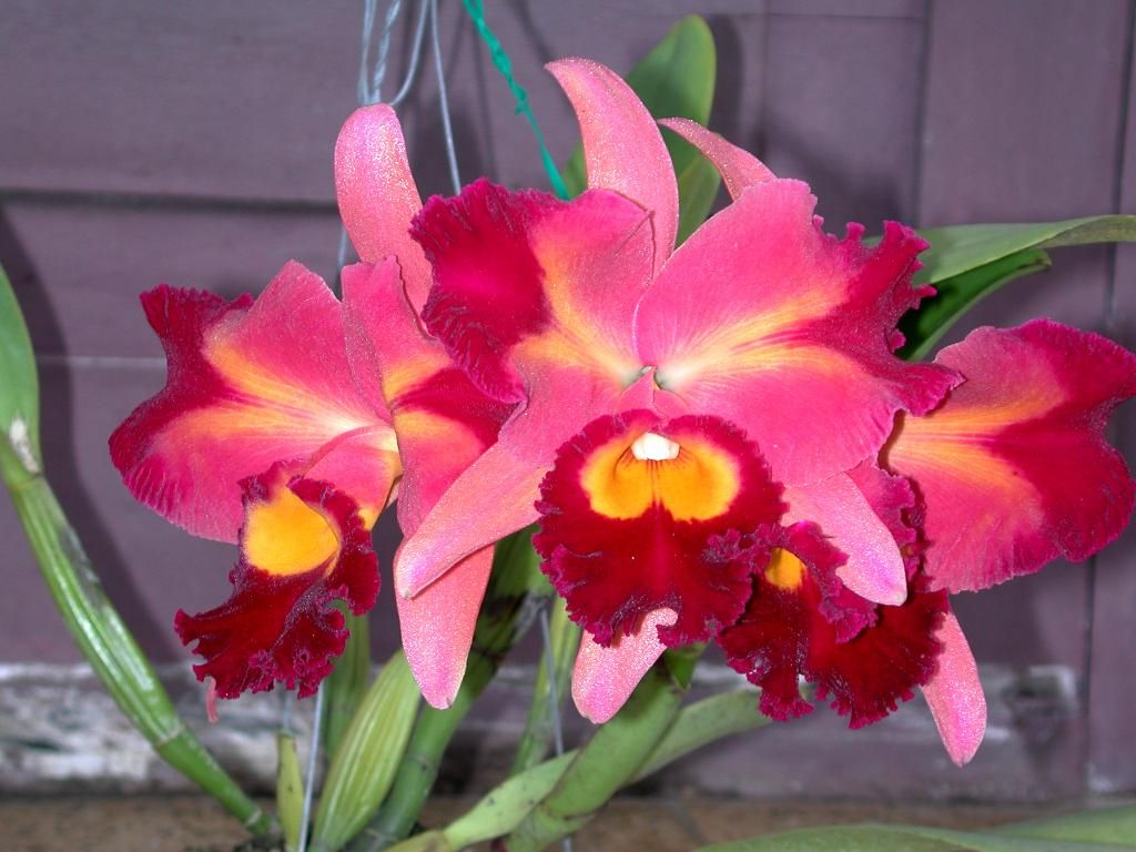 Blc Chinese Beauty Jpg Chinese Beauty Orchids Beauty