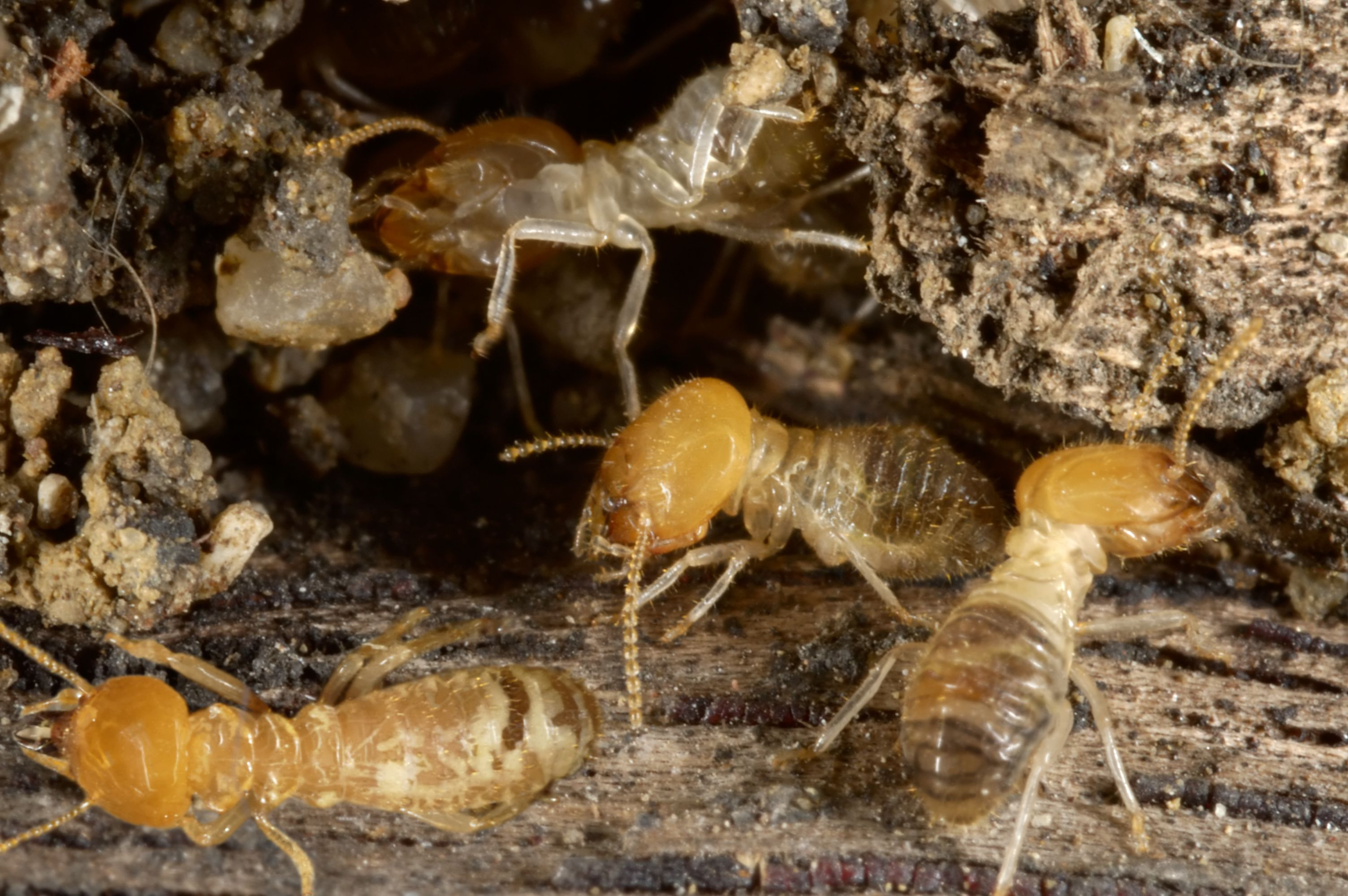 What Do Baby Termites Look Like In 2020 Termite Infestation