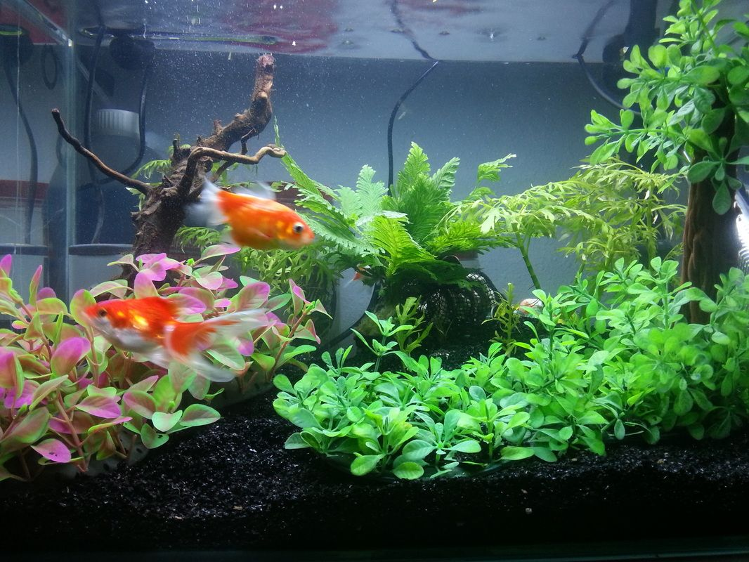 First Timer Goldfish Tank Set Up Completed - First Time Rearing Goldfish  Experience