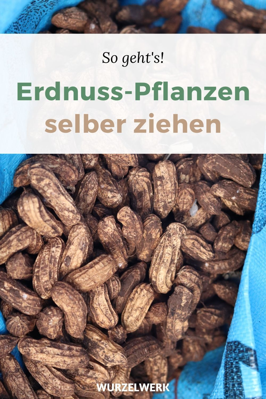 Erdnuss Pflanzen Selber Ziehen Erdnusse In Deutschland Anbauen Wusstest Du Dass Erdnusse Auch I In 2020