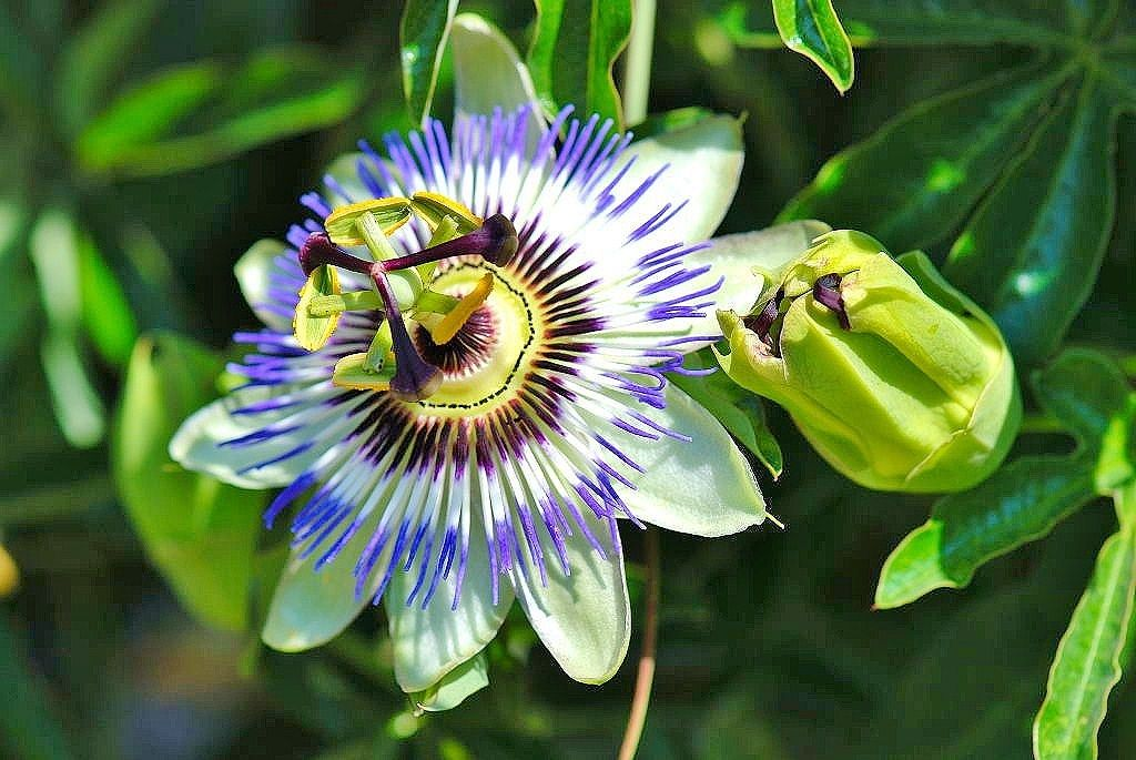 Passion Flower Lilikoi Blooming Flowers Passion Flower Bloom