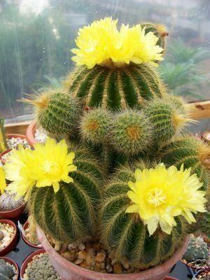Parodia warasii flores entre espinas pinterest cacti parodia warasii mightylinksfo Images
