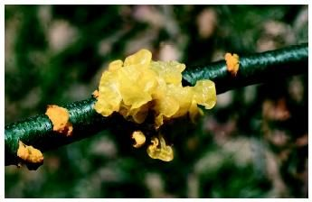 Lichen Dark Yellow Witches Butter Tremella Species Jelly Fungus Fungi Are Eukaryotic Organisms Distinct From Plants And An Organic Fungicide Fungi Plants