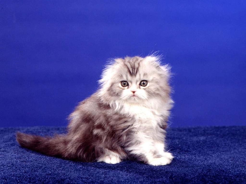 a scottish fold cat... so fluffy