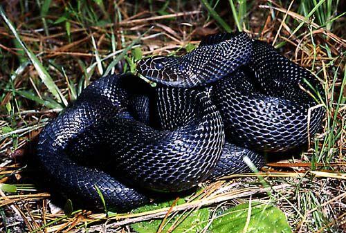 Black Snakes Romney Santorum And The Mississippi Black Snake Snake Pine Snake Reptiles And Amphibians