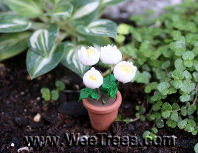 Potted Daisies