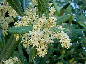 Olive Trees Olea Europaea Non Xeriscape Common Landscape