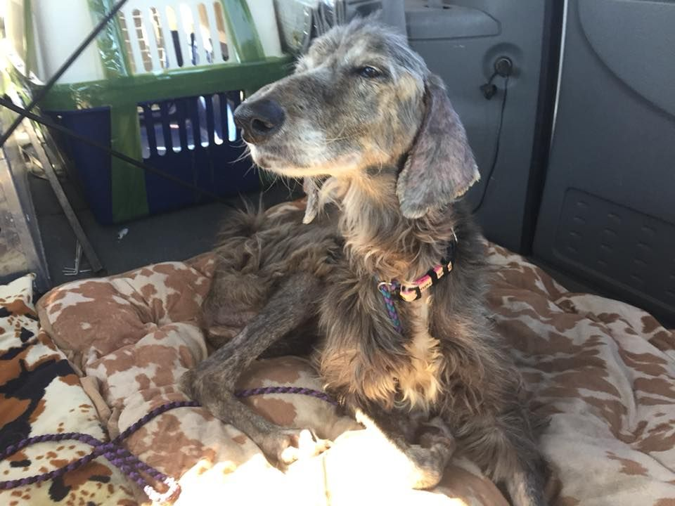Miracle Rescued From Korea Now Safe And Sound At Afghan Hound