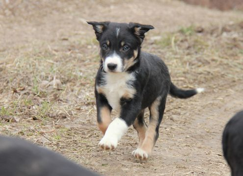 Border Collie Puppy For Sale In Mansfield Mo Adn 22820 On