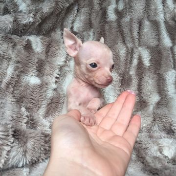 Chihuahua Puppy For Sale In Houston Tx Adn 24290 On Puppyfinder