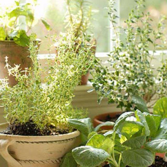 Container Herb Garden, Citrus Plant
