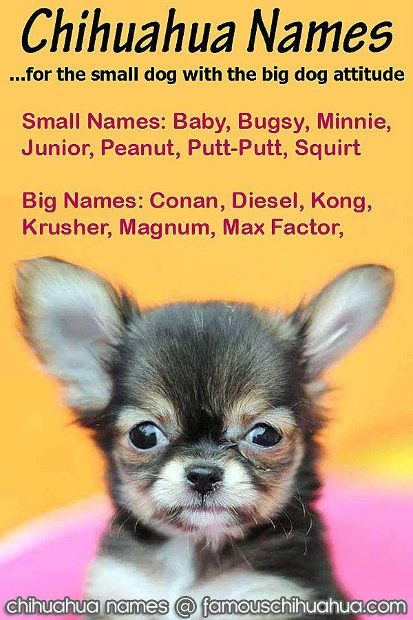 Chihuahua Names Cute And Fun Names For The Small Dog With A Big Attitude Chihuahua Names Puppy Names Chihuahua Puppies
