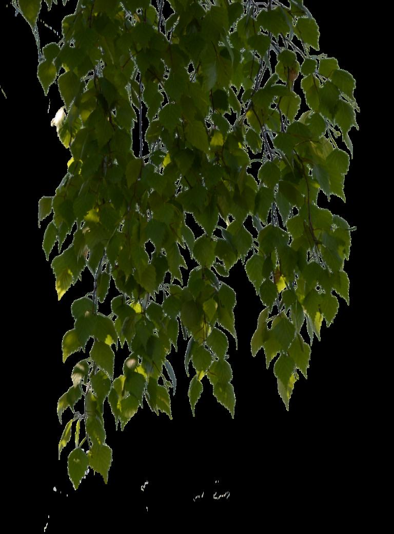 Ветка дерева березы кустарник веточка, дерево PNG | HotPNG | 1039x768