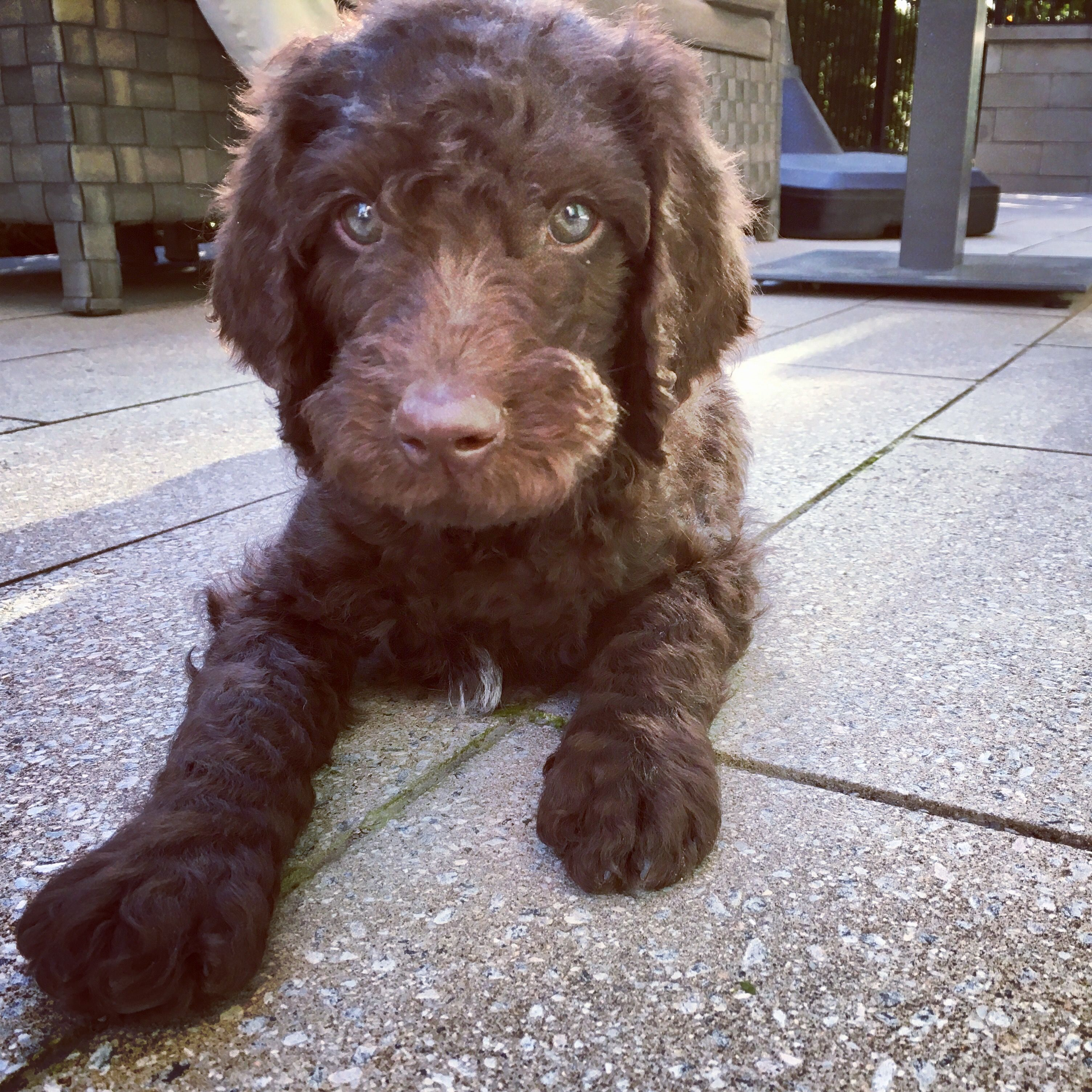 Chocolate goldendoodle. Sweetest puppy in the hole wide