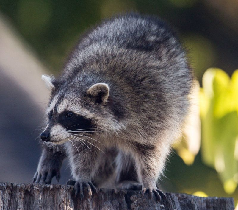 There's No Stopping Toronto's 'UberRaccoon'