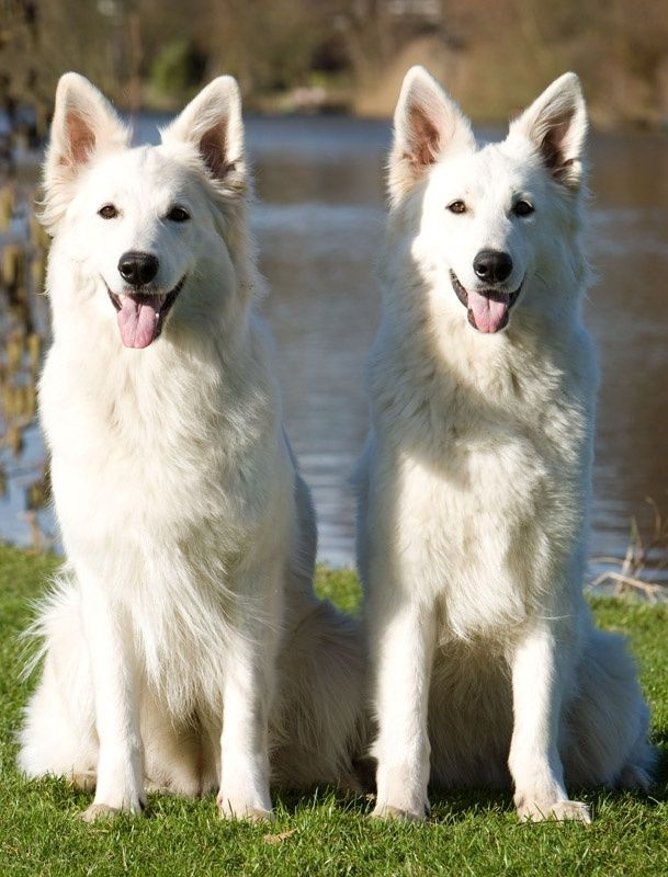 White Shepherd Or Berger Blanc Suisse Swiss White