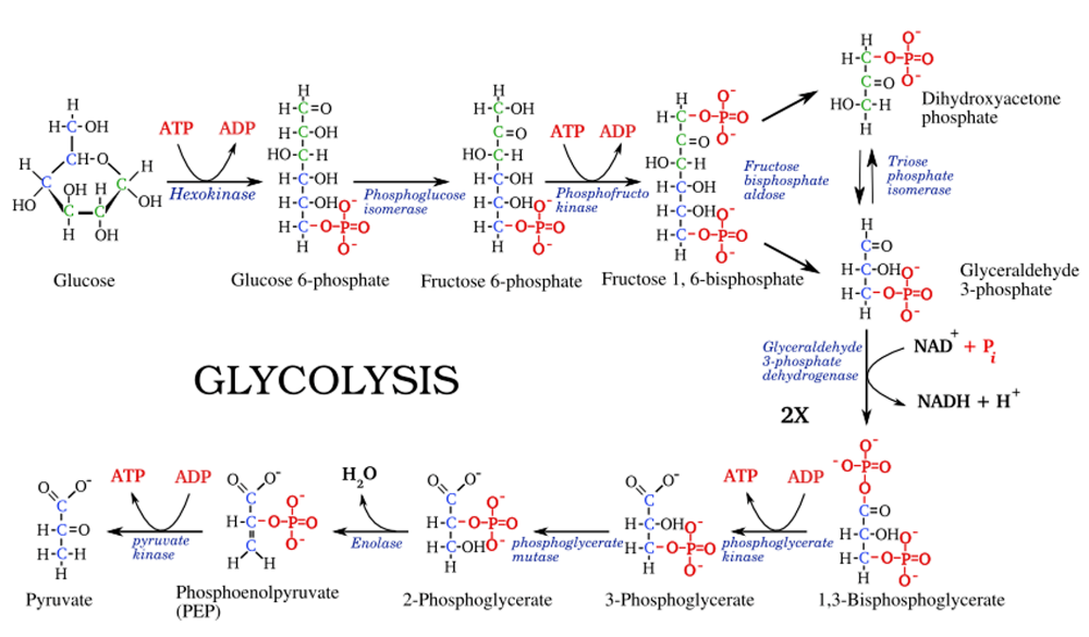 Glycolysis Steps Diagram And Enzymes Involved Online Biology Notes In 2020 Biology Notes Biochemistry Biology