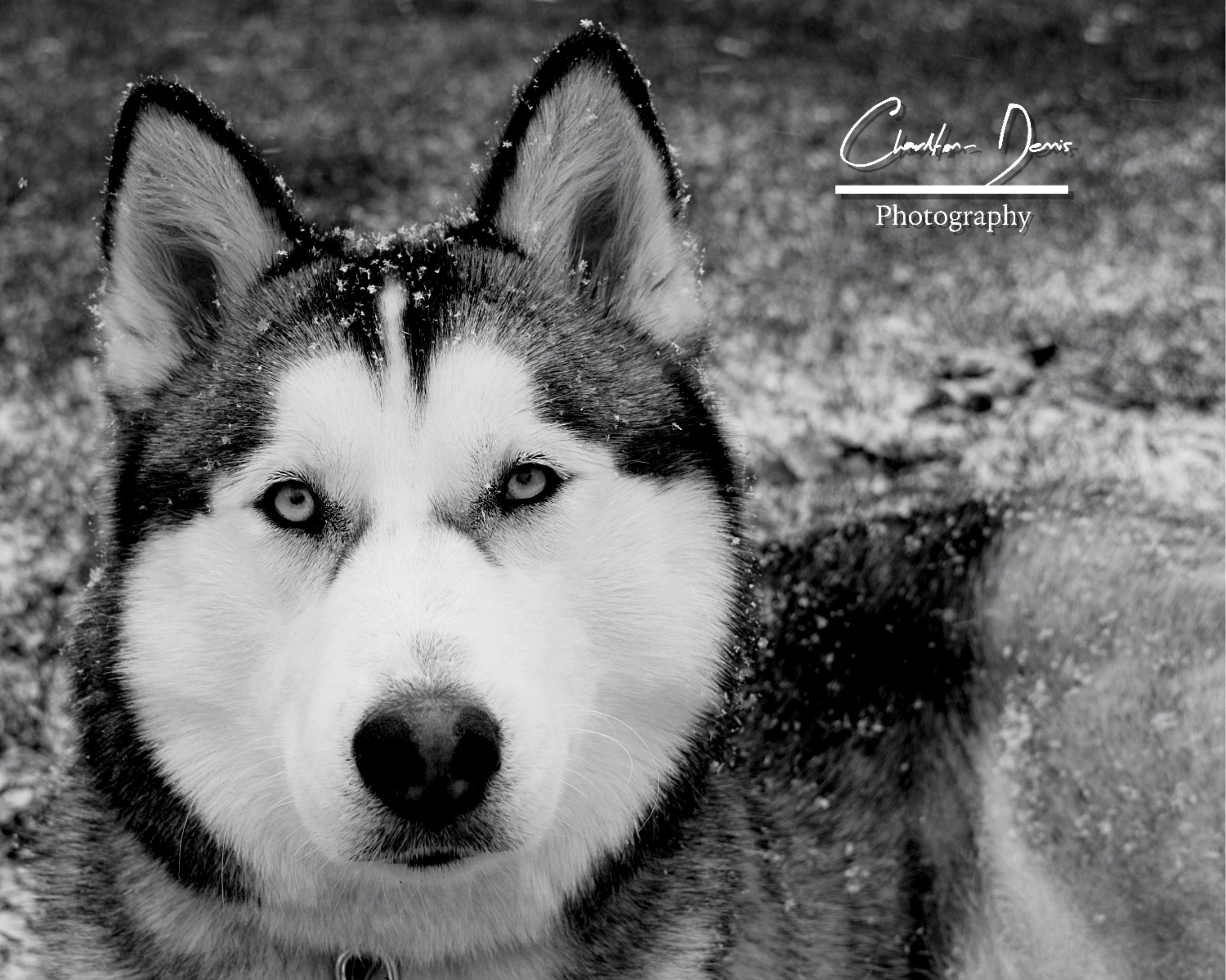 Siberian Husky Charlton Dennis Photography Husky Dogs Animals