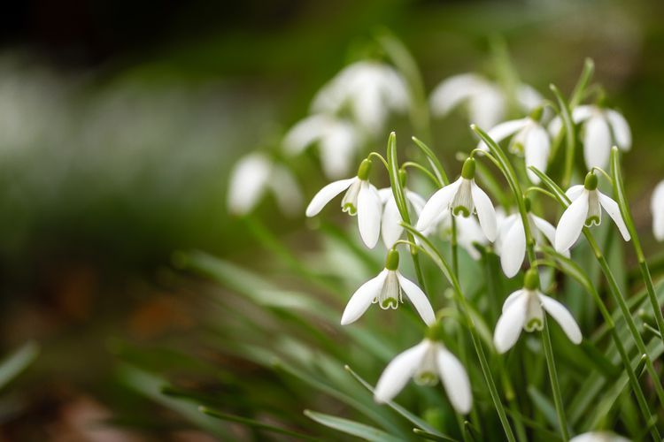Out With The Snow In With The Snowdrops In 2020 Spring Bulbs Deciduous Trees White Flowers