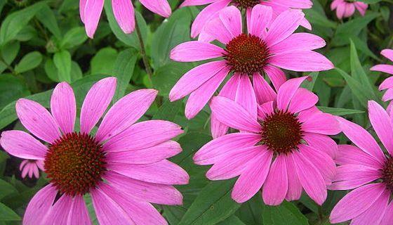 Echinacea purpurová je obľúbenou bylinkou, ktorá aktivuje imunitný systém.