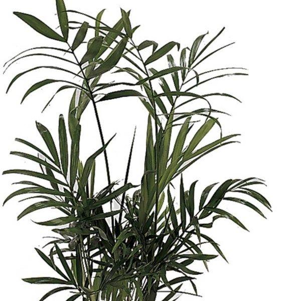 Bergpalm Bergpalme Zimmerpflanzen Pflanzen