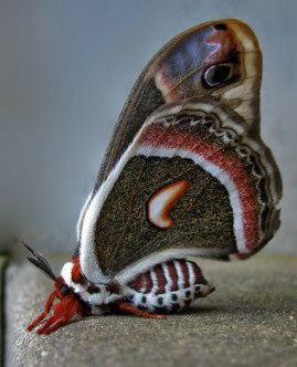 Cecropia Moth--I used to catch these when I was little--now they are all gone;-(  I miss them & their beautiful caterpillars!