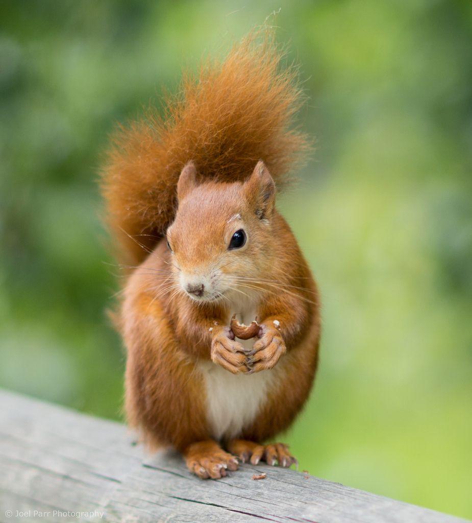 squirrels m kusok pinterest eichh rnchen s e tiere und tier. Black Bedroom Furniture Sets. Home Design Ideas