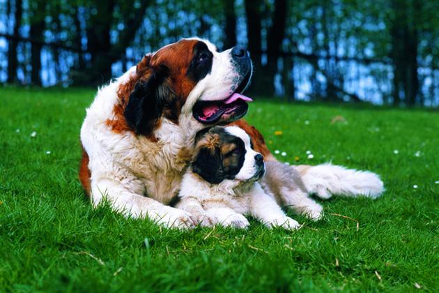 Wolfhound Stbernard Mix Great Dane Neapolitan Mastiff Saint