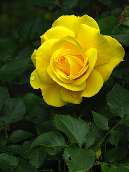 Finding A Rose That I Love And Would Want Tattooed On Me Has Been Difficult This Is A Great Tattoo Able Rose Minus T Green Rose Beautiful Roses Rose Flower