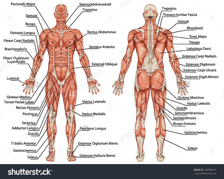 Resultado de imagem para principais músculos do sistema múscular ...