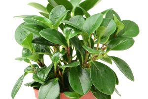 Peperomia Peltfolia Plants Cat Safe Plants House Plants