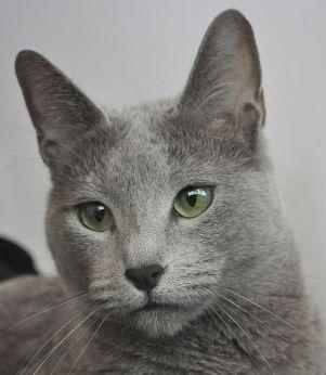 Russian Blue Kittens For Sale Russian Blue Cat Russian Blue