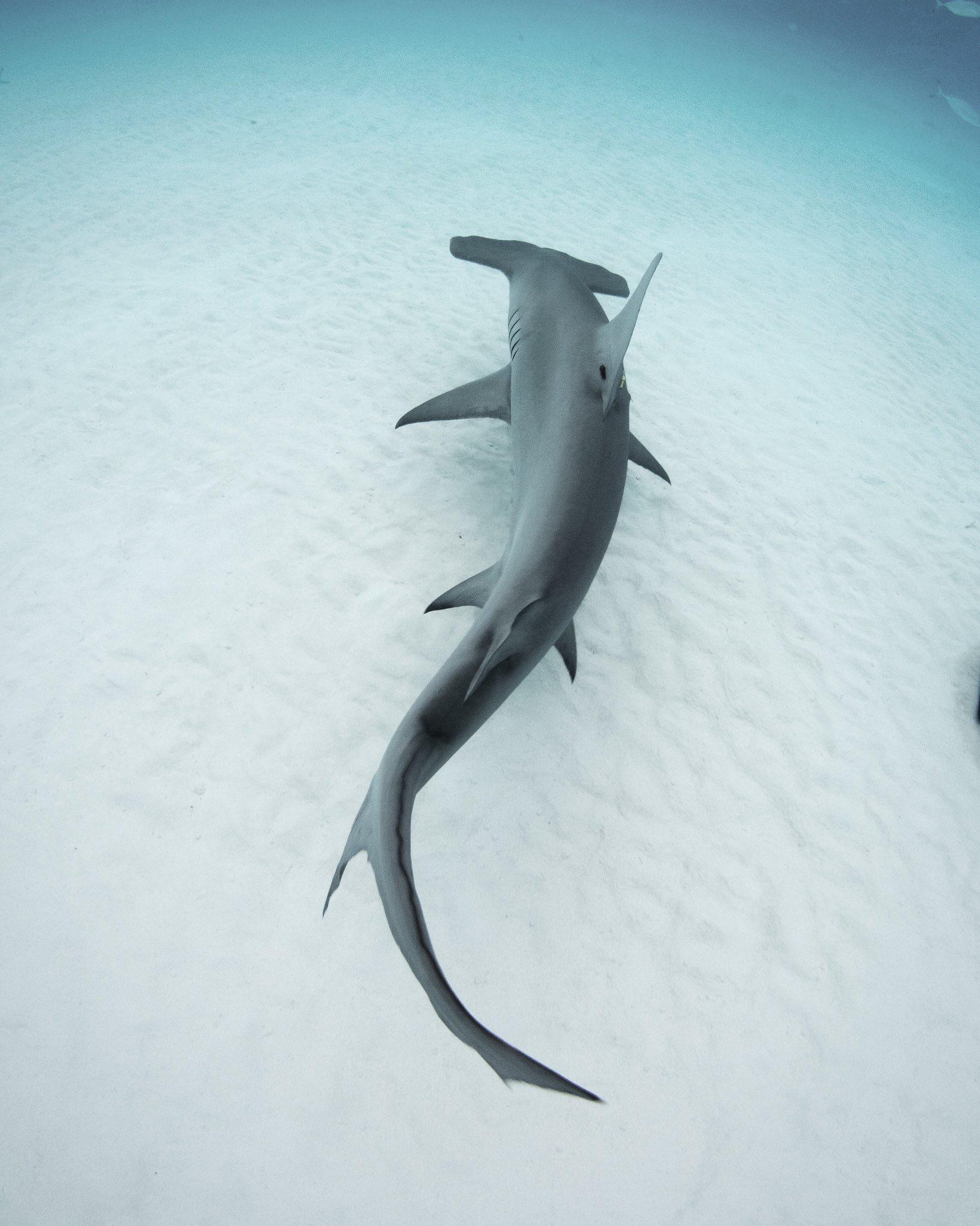 Pin de Ariel O\'Casey en Wildlife | Pinterest | Tiburones, Tiburón ...