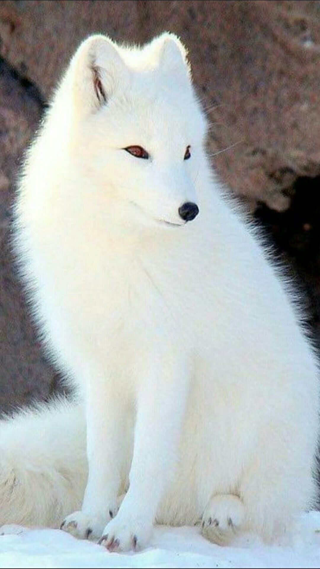 Pin By Rosa Sabater On Refs Animals Pet Fox Cute Animals Animals