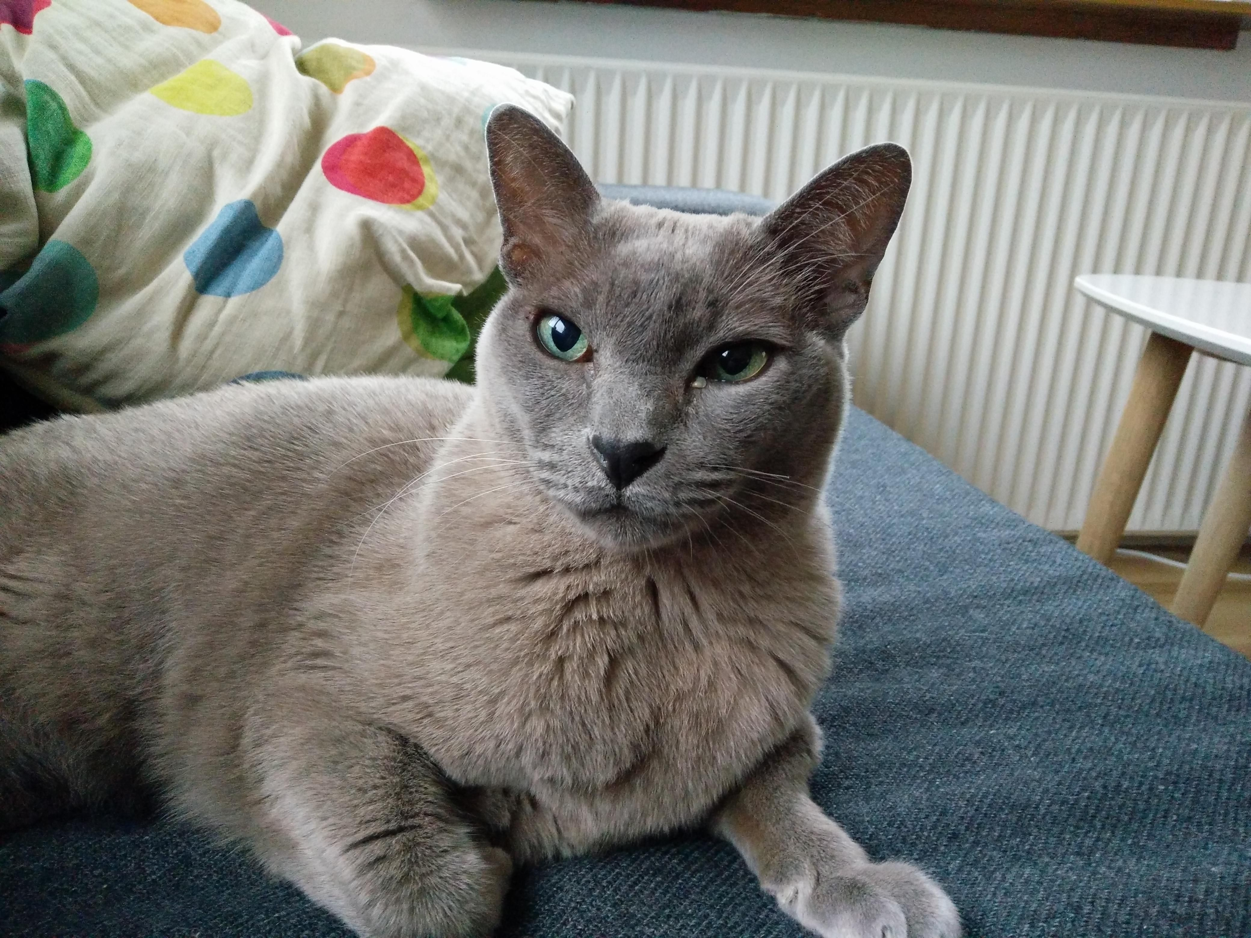 My Mom S Handsome Burmese Cat Charliehttps I Redd It 9qrdn2d96b521 Jpg Burmese Cat Cats Cute Cats