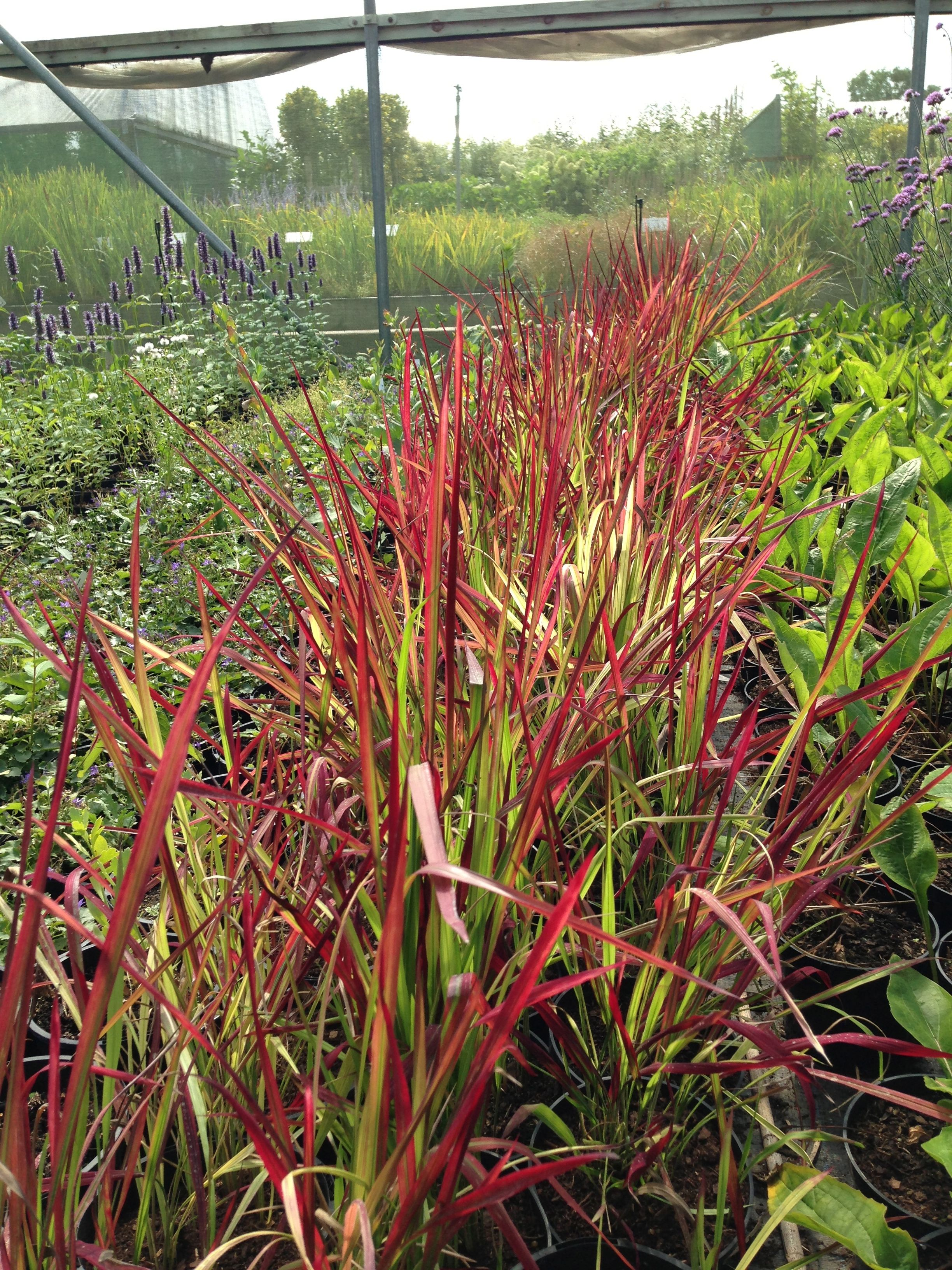 Imperata cylindrica 39 red baron 39 45cm grasses pinterest - Imperata cylindrica red baron ...
